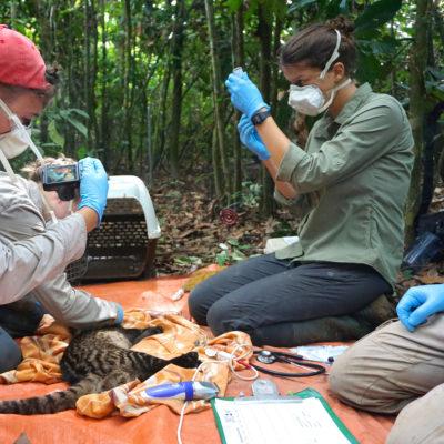 Borneo Schleichkatze